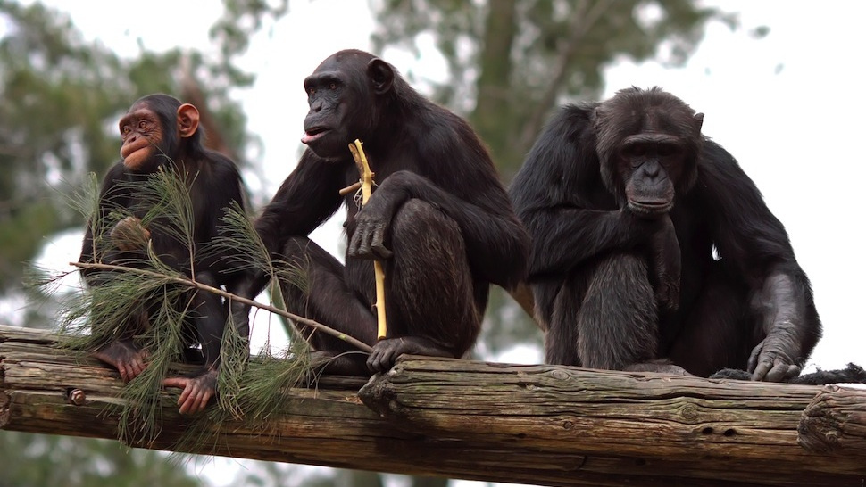 Chimps are better at teamwork than anyone realized