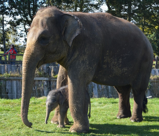 Adorable Tiny Huge Baby Elephant Born After Longest Damn Pregnancy Ever