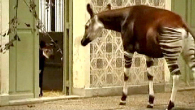 Watch A Baby Okapi Take Its First Steps