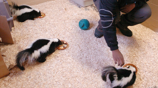 Skunks Are The Hot (And Smelly) New Trend In Pets