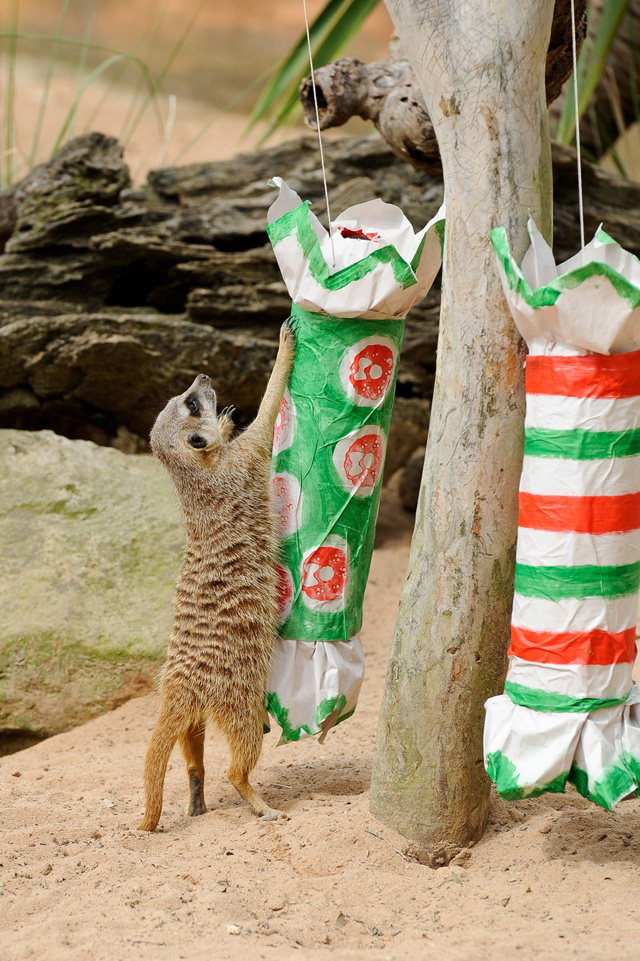 Merry Meerkats Celebrate Critter Christmas