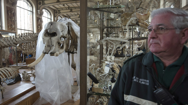 Man Breaks into Museum and Tries to Steal Elephant Tusk with Chainsaw