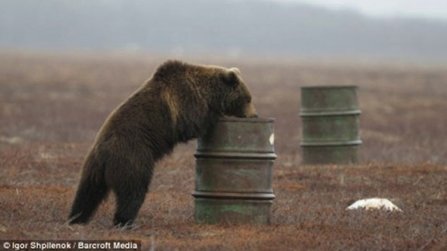 Click here to read Russian Bears Are Hooked on Huffing Jet Fuel Until They Pass Out