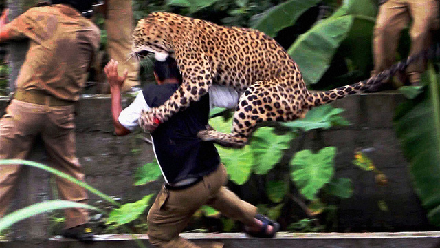 Here Are Pictures of a Leopard Terrorizing an Indian Village