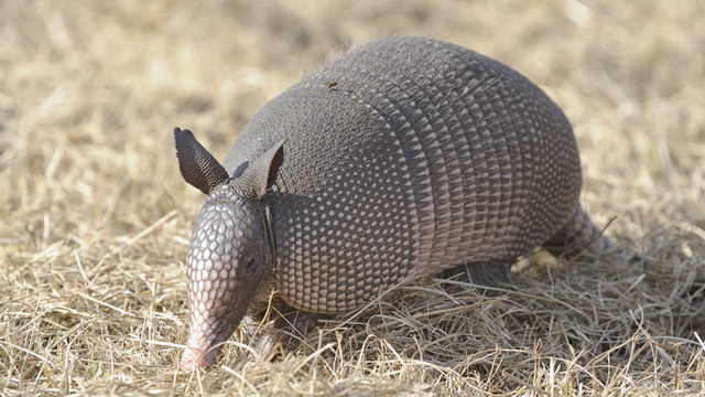 Armadillos Are Giving Everyone Leprosy