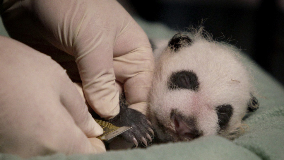 Veterinarian Measures Cuteness of Baby Panda's Teeny Tiny Paw