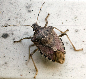 Stink Bugs About to Overtake Washington, DC on 'Biblical' Level