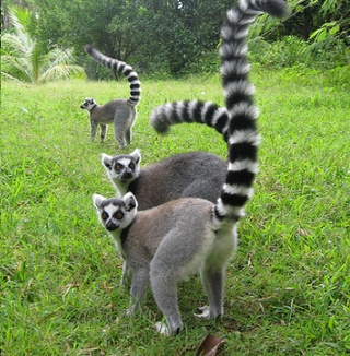 Government Monsters Want to Kill Lemurs Dead