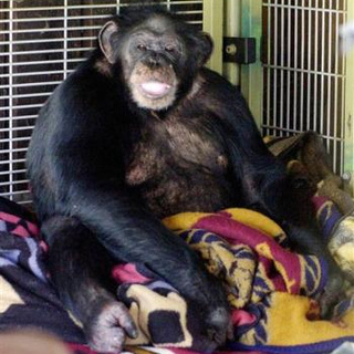 Chimp Attack Woman Finally Leaves Hospital