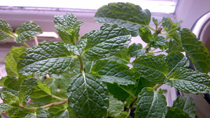 Keep Ants Away From Your Home (or Garden) with Mint