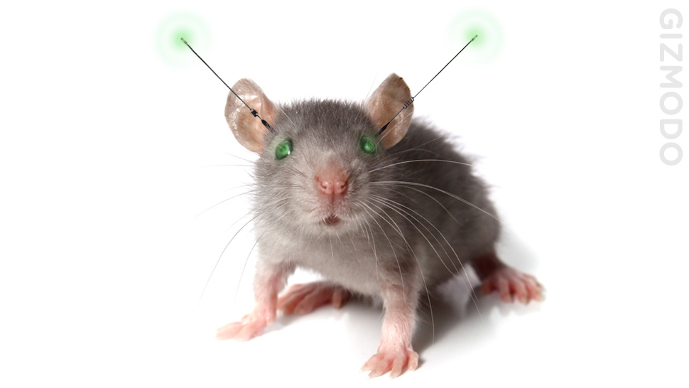 Scientists Create Cyborg Rats to Combat Brain Damage