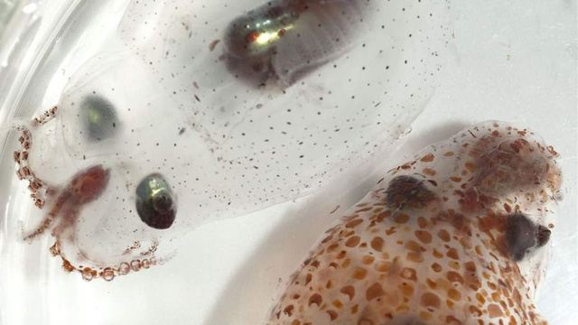 Squids and Octopi Change From Invisible to Camouflaged in a Snap