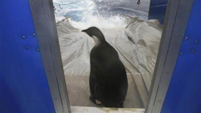Wayward New Zealand Penguin Might've Been Chomped by a Killer Whale