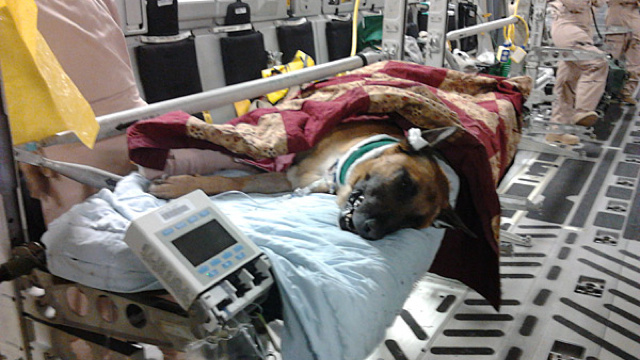 A Wounded War Dog Healed in an Aerial Hospital