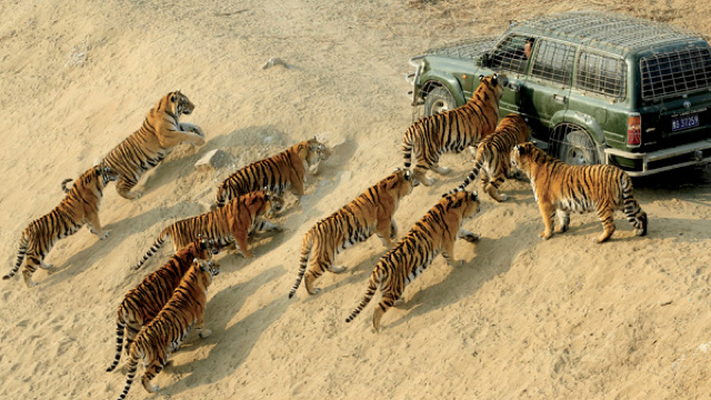 Eleven tigers in a single photograph is a rare sight, indeed