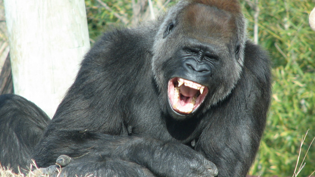 Grinning gorillas could help explain the origins of human laughter
