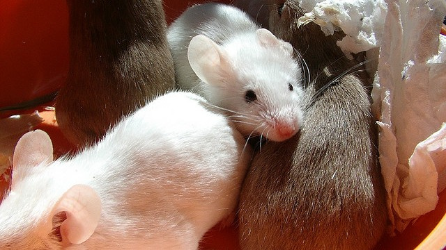 Mice sing ultrasonic love songs to their sweethearts