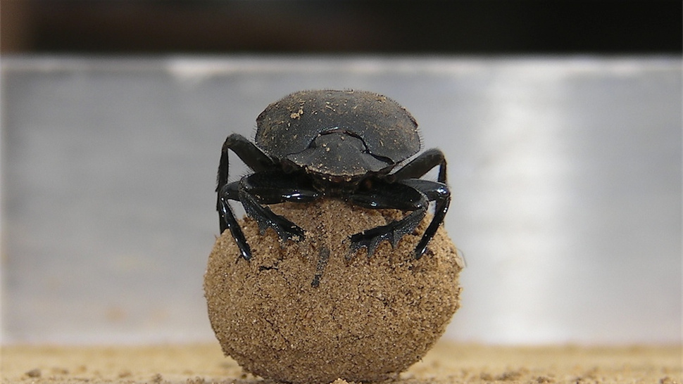 Why do dung beetles dance? It's not just because they're happy
