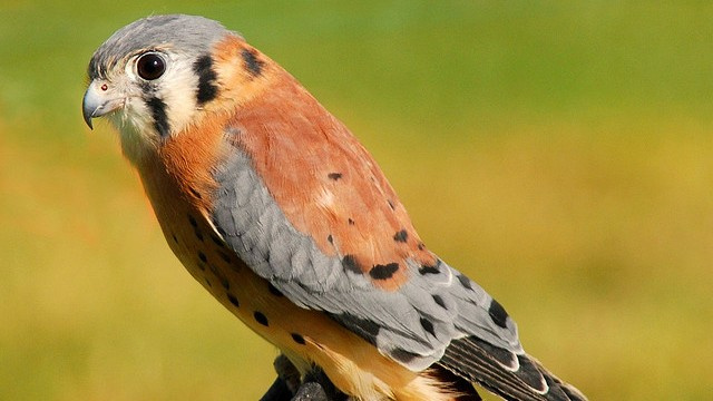 How a predator bird and its prey came together to fight a common enemy