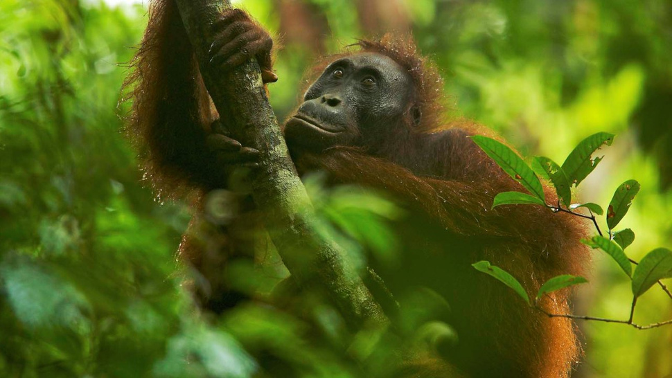 Starving orangutans may explain why humans evolved to become obese