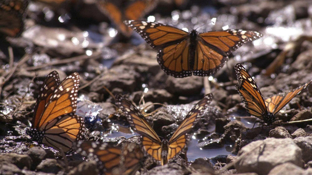 What lurks in the DNA of the mysterious Monarch butterfly?