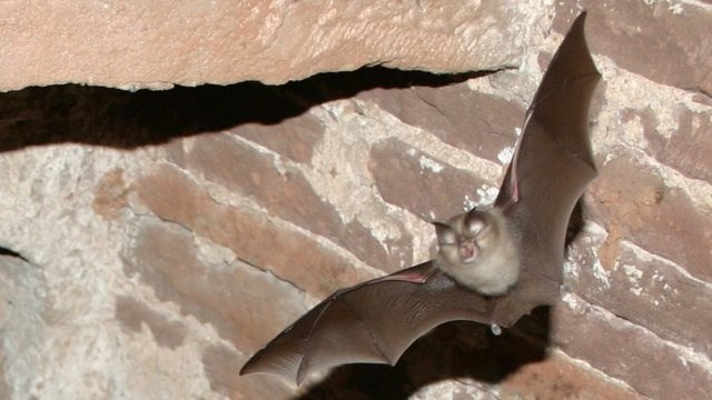 Bats can instantly change the shape of their ears just to hear better