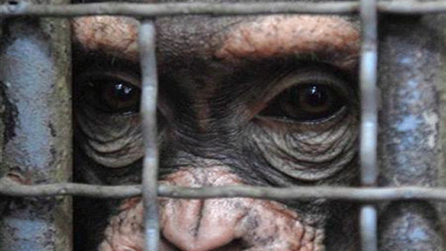Exploring the ethical implications of chimpanzee research