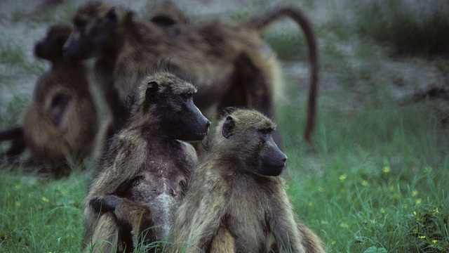 The sudden evolutionary shift that drove ancient hominids to socialize with each other