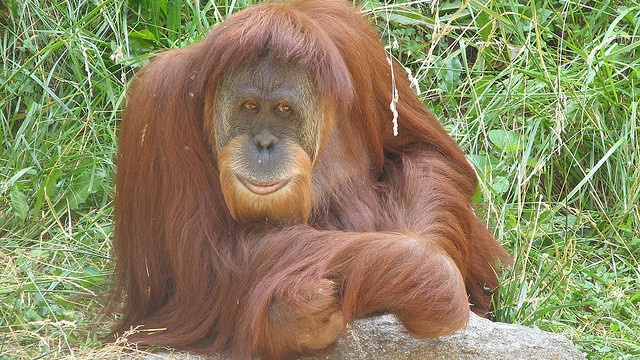 Orangutan populations develop different cultures just like humans