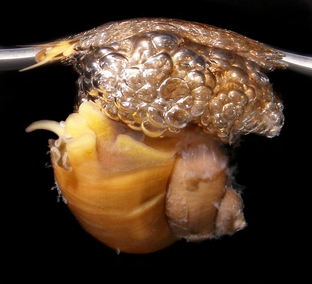Scientists sort out the secrets of bubble-rafting snails