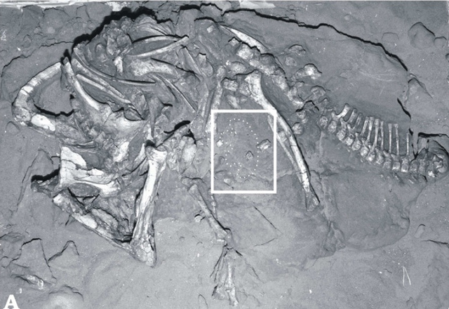 Why are paleontologists comparing this dinosaur fossil to Cinderella?