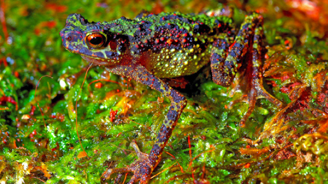 Rainbow toad rediscovered after 87 years