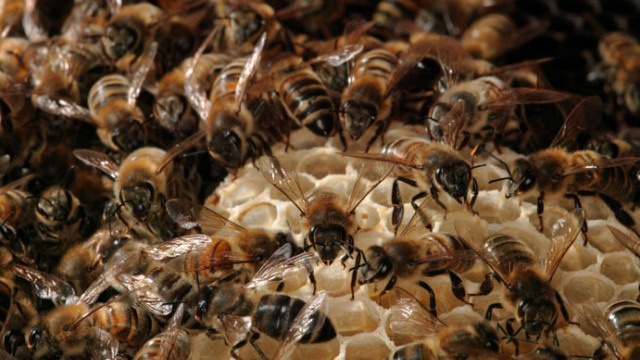 We may save the world's food supply by creating super-bees