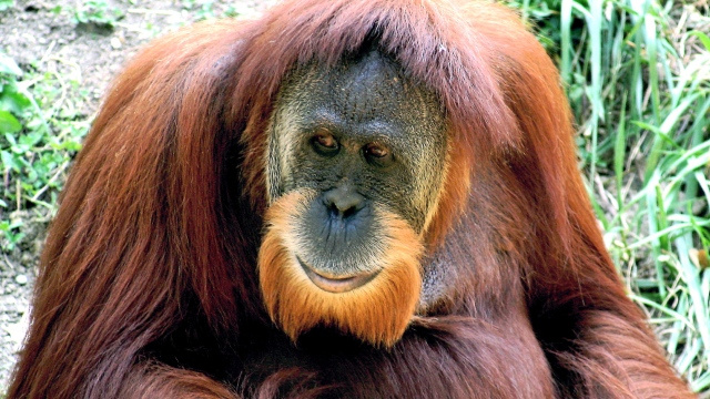 Orangutans reveal the evolutionary purpose of happiness