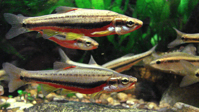 Why don't asexual fish hybrids rule the world?