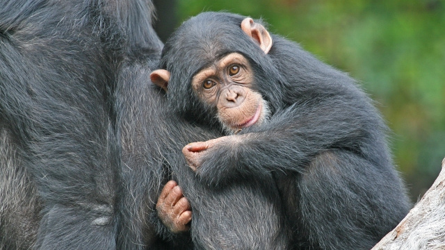 Chimps emerge from the womb headfirst, just like humans