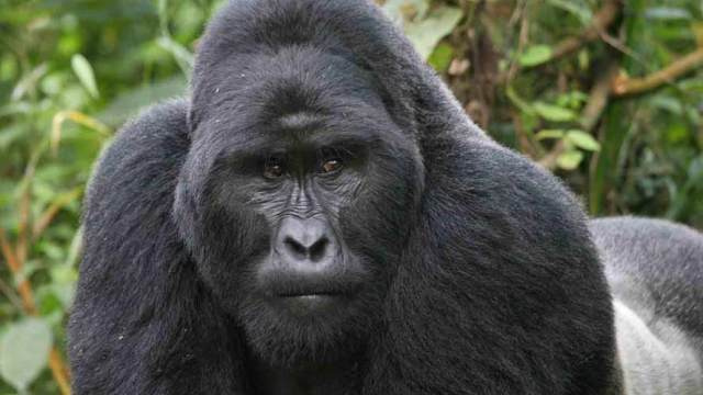 How a human virus is killing endangered gorillas