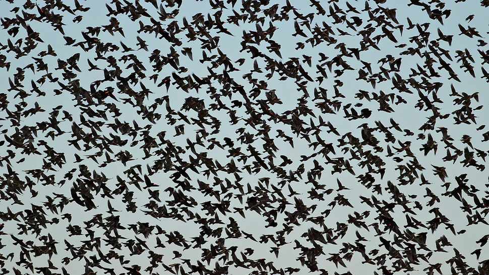 Why are thousands of dead birds suddenly falling from the sky?