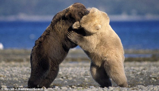 Grizzly Bear vs. Polar Bear - Who Will Win?