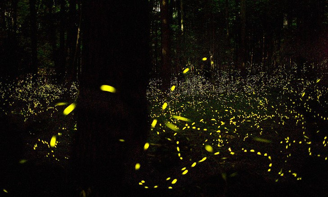 How do fireflies light up?