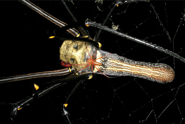 Scientists Discover the Largest Orbweaving Spider in the World