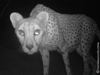 Surveillance Cameras Capture the Elusive, Endangered Saharan Cheetah
