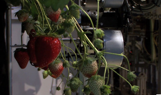 Strawberry-Pickin' Robot Only Picks the Red Berries