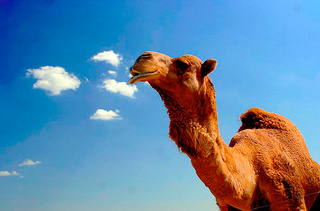 Farting Camels and Pigs Targeted by Murderous Australian Environmental Group
