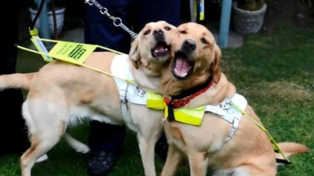 Service Dogs Fall in Love, Adorably Prompting Owners to Fall in Love