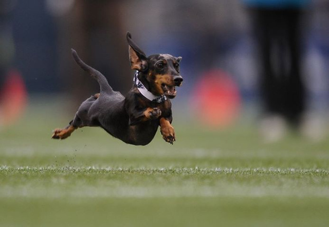 The Browns Will Hold A Wiener Dog Race