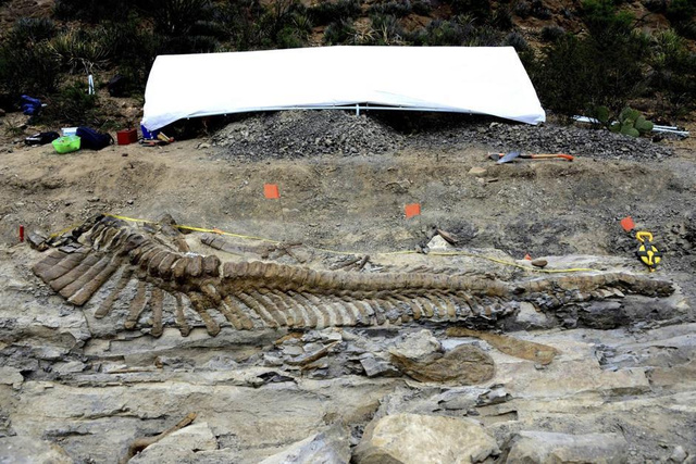 16-foot dinosaur tail unearthed in Mexico is in perfect condition