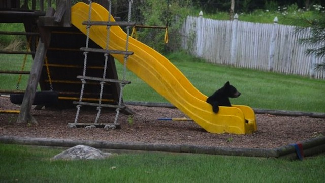 Look! It's A Bear On A Slide! This Bear Thinks It's People!