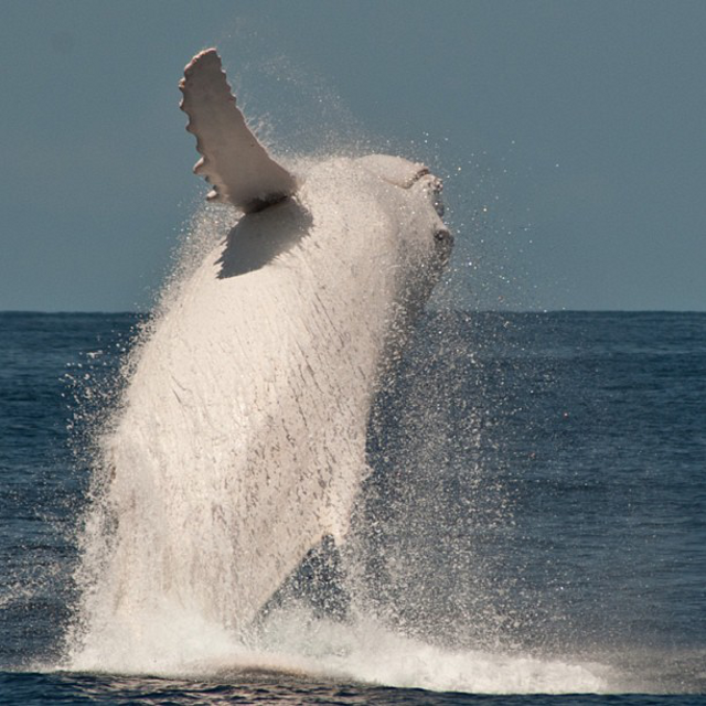 These rare photos of Migaloo the albino humpback whale are astonishing