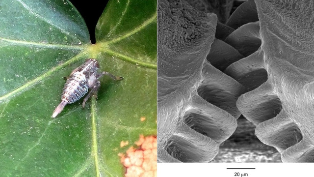 This Insect Grows Its Own Microscopic Gears to Move Absurdly Fast